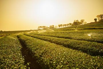 Sunrise view of tea plantation landscape