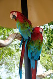 Red, green and blue parrot