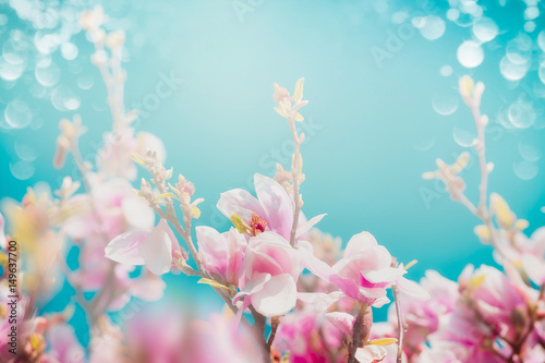 Fototapeta Beautiful pink blossom of magnolia with sun shine and bokeh at turquoise sky background, front view, floral border