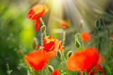 Poppy flowers field nature spring background. Blooming poppies