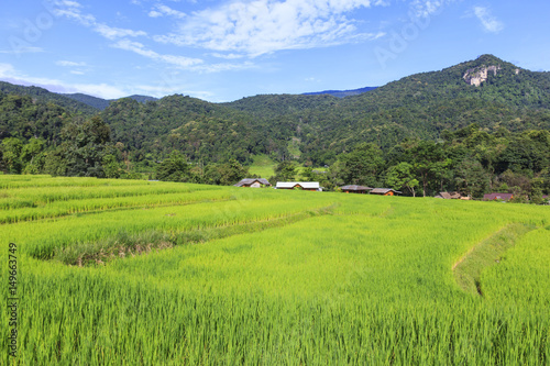 Fresh green rice terrace field in rain season before harvest time, in countryside of Chiang Mai, Thailand.