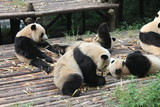 Breakfast time with family pandas