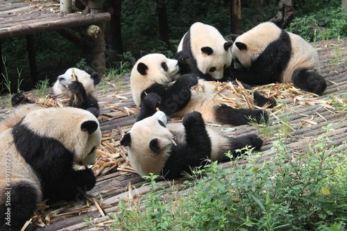 Plexiglas Panda Breakfast time with family pandas