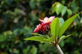 Colorful Plumeria  frangipani tropical flower