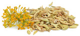 Fennel seeds with flowers - 149743319