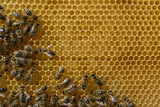 Bees fed and warmed to the young larvae honeycomb. Apiculture.