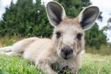 Australian western grey kangaroo close-up, Tasmania, Australia