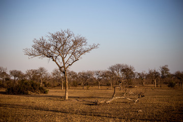 Trees in Sabi Sabi, South Africa