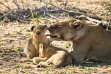 Kiss the Baby, Lion Family, South Africa