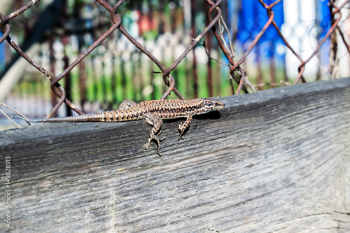 lizard Lacerta viridis on a wooden board Poster