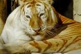 Tigre mirando desafiante
