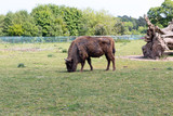 Single European Bison on the field eating grass against a brigt blue sky