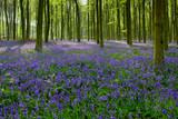 Bluebells in Wepham Woods - 149863914