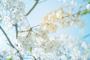 closeup cherry blossom