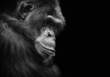 Black and white animal portrait of a chimpanzee with a contemplative stare - 149936760