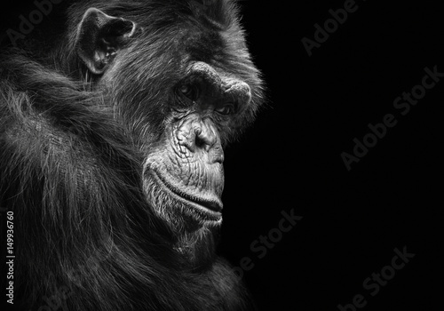 Black and white animal portrait of a chimpanzee with a contemplative stare