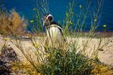 A Magellanic penguin (Spheniscus Magellanicus) hiding behind the bushes, inside Valdes Peninsula nature reserve, Patagonia, Argentina, South America.