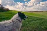 Dog portrait, Borzoi dog at field