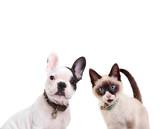 french bulldog and birmanese cat - 149951904