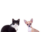 black and white cat near little chiwawa puppy dog - 149951906