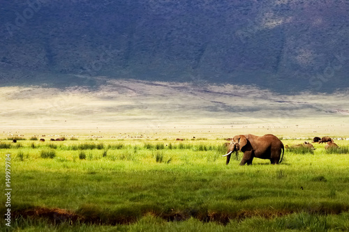 Wild african elephant in green grass in the Ngorongoro Conservation Area on the