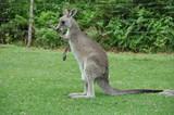 Australia - Newcastle-kangaroo