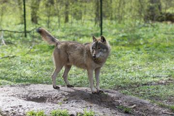Wilk w puszczy