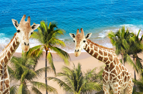 Two giraffes, palm trees, ocean waves and beach Poster