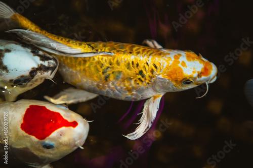 Swimming of carp or koi fish in the pool poster affiche for Acheter carpe koi