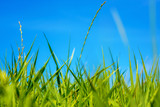Photo of green grass at summer day on a blue sky background
