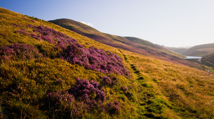 Beautiful summer landscape of Bloomig violet heather flowers In Scotland, UK, Europe.