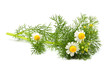 Wild chamomile, Matricaria  isolated.
