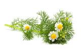 Wild chamomile, Matricaria  isolated. - 150077579