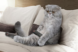 Scottish Fold cat with the TV remote control - 150089599
