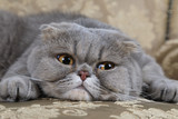 Scottish Fold cat on a sofa
