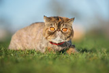 exotic shorthair cat lying down on grass