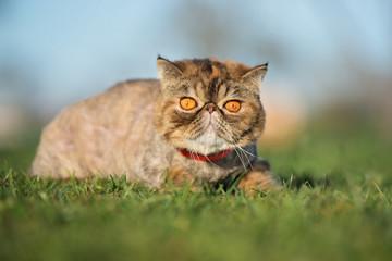 exotic shorthair cat lying down on grass