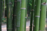Green bamboo stalk.