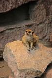 Erdmännchen sitzt auf einem Stein