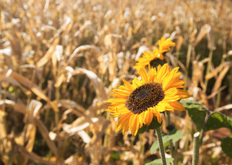 Sunflowers in the countryside.