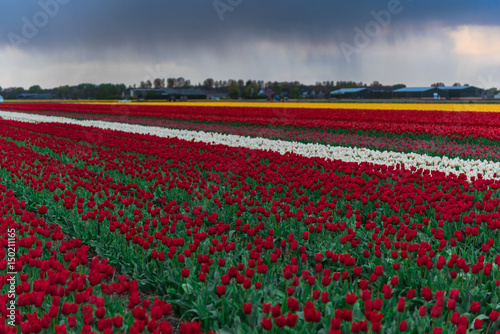 Foto op Canvas Bordeaux Tulips field