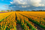 Amazing tulips field