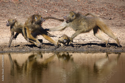 The chacma baboon (Papio ursinus), scuffle on the water
