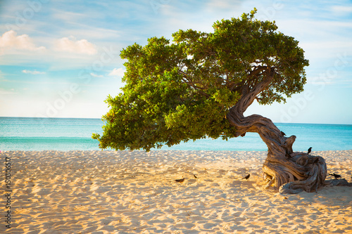 Poster Divi Divi tree on the beach of Aruba