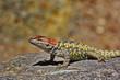 Alert spiny lizard on rock in Tucson, Arizona