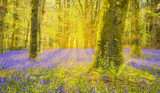 Sun shines through beech trees illuminating a carpet of bluebells