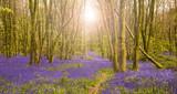 Sun shines through beech trees illuminating a carpet of bluebells