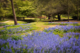 Carpet of bluebells near a bridge in Bournemouth Gardens