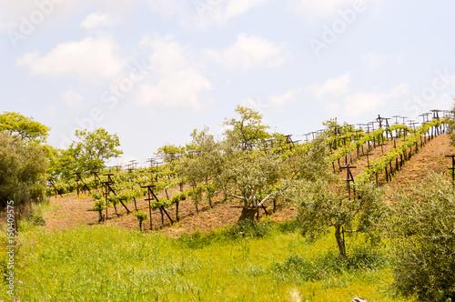 Poster Oceanië Vineyards and olive trees