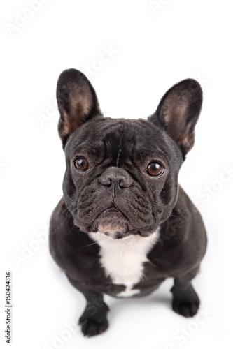 Plexiglas Franse bulldog Black french bulldog on white background